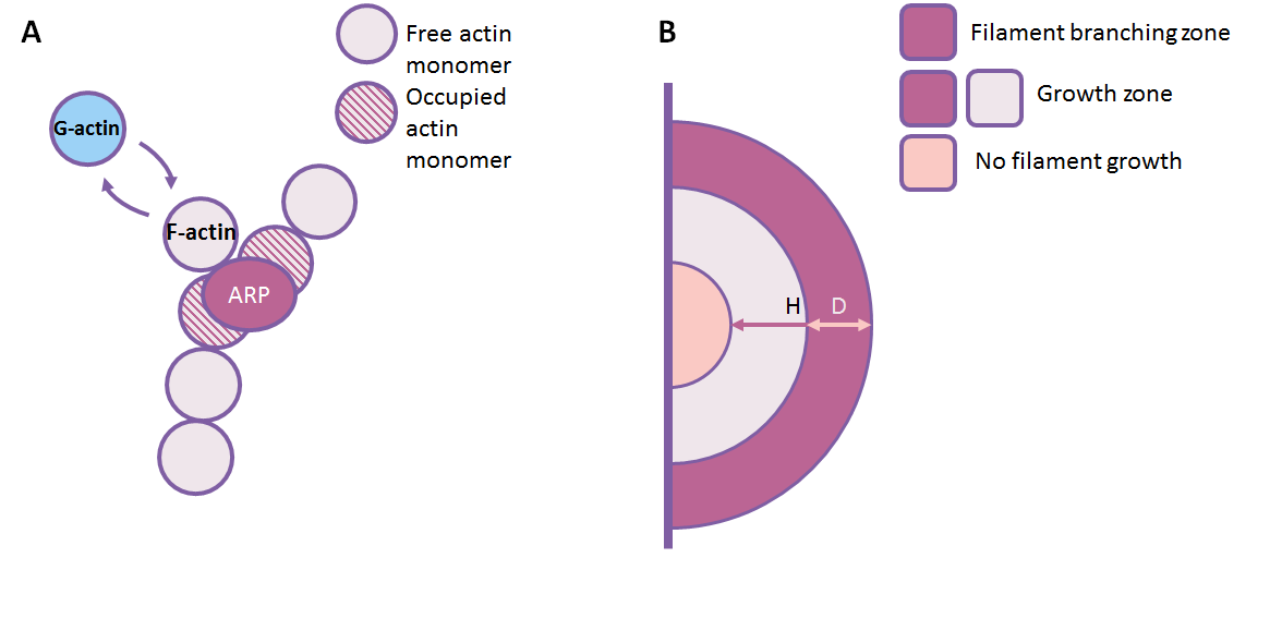 """Scheme of the computational model. (A) The scheme of stochastic events and species included in the model. A single F-actin filament is assumed to be straight and to be divided into segments. Each segment can be considered to be an actin monomer. New G-actin molecules can attach to and detach from the filament """"barbed"""" end. It is assumed that the child filament begins to grow from the middle between two segments of F-actin at the angle of 70o.  If there is a branch growing from the F-actin segments, they are considered occupied and no branching can occur there. (B) The spatial restrictions on the filament growth and branching. The filaments can branch if the distance from the cell membrane is lesser than D. Filaments can grow if the distance from the cell membrane is lesser than H, where H > D."""