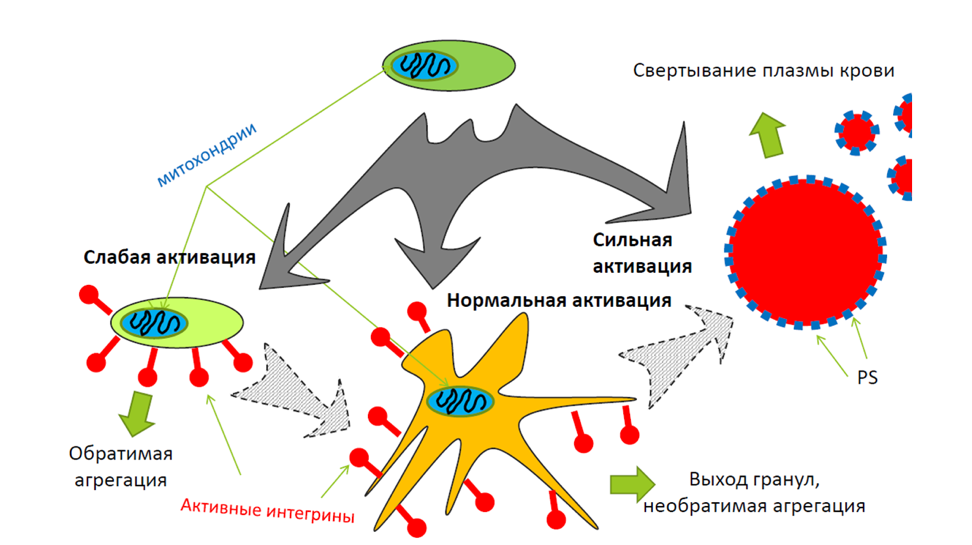 """Different degrees of the platelet activation in hemostasis. Upon weak stimulation, platelets pass into a weakly activated state, in which there is no clustering of platelet integrins and no significant change in the shape of platelets. This weak activation is reversible, and it corresponds to the state of platelets in the outer layers (""""coat"""") of the thrombus. Upon stronger activation, platelet shape significantly changes. Platelets become irreversibly activated and aggregate. The secretion of platelet granules also occurs. At the maximum degree of activation, platelet mitochondria collapse, and platelets pass into a procoagulant state, exposing phosphatidylserine, which significantly accelerates blood plasma coagulation."""