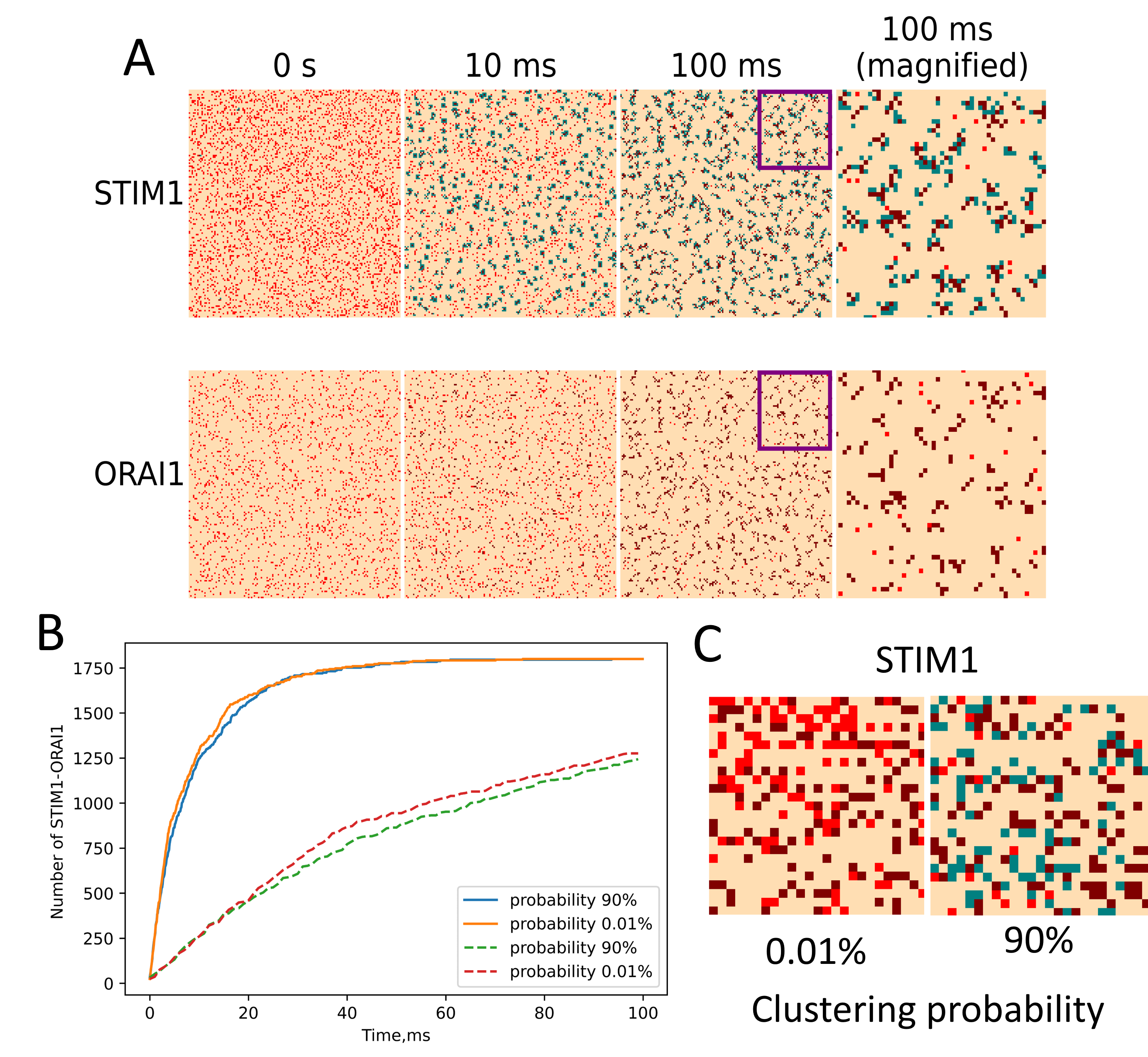 (A) STIM1-ORAI1 interaction for HEK cells. Bound proteins are presented by brown, STIM1 in cluster – green, free proteins - red. (B) STIM1-ORAI1 puncta formation dependance on clustering probability. Dashed lines represent same process for D=0.01 〖μm〗^2/s (C) Typical system state at t=100ms for different clustering probabilities