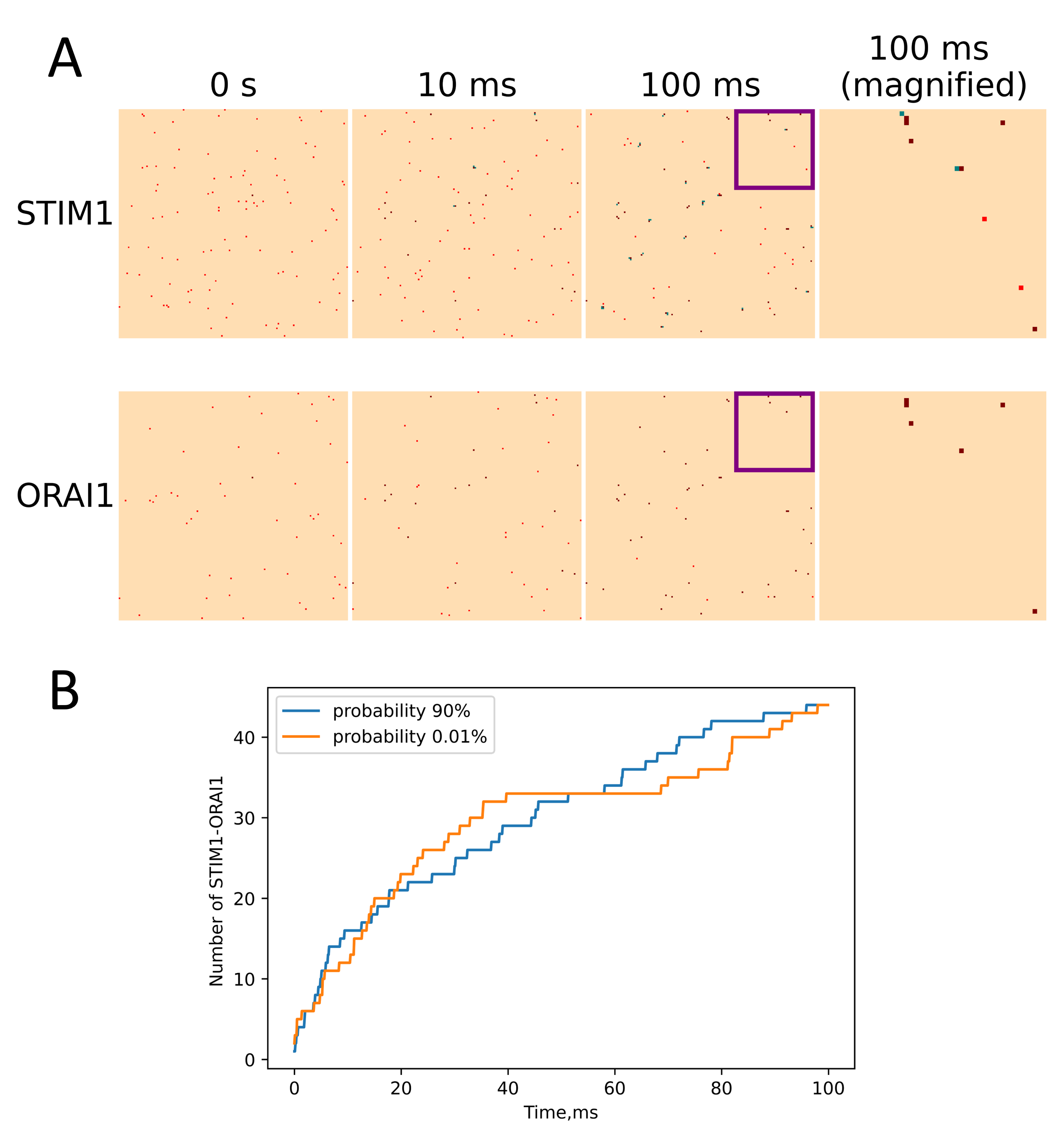 (A) STIM1-ORAI1 interaction for platelets. Bound proteins are presented by brown, STIM1 in cluster – green, free proteins - red. (B) STIM1-ORAI1 puncta formation dependance on clustering probability