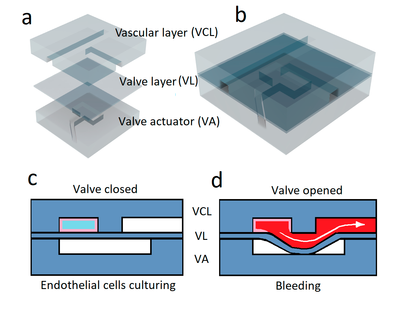 Multilayer microfluidic model of bleeding. (a) Three PDMS-layers: 1-vascular layer, consisting of a vascular channel and a bleeding channel, 2-PDMS valve layer, 3-layer that deforms the valve due to pressure reduction; (b) The schematics of the assembled device; c) General scheme of the system: first, endothelial cells (pink) are cultured to form a monolayer in the vascular channel (blue). d) Further, whole blood (red) is perfused and the valve layer is displaced by decrease of the pressure in the valve actuator chamber (white). Blood, while the valve is in the open position, flows through the vascular channel, as well as through the newly created channel, simulating bleeding due to penetrating damage. Adapted from [33].